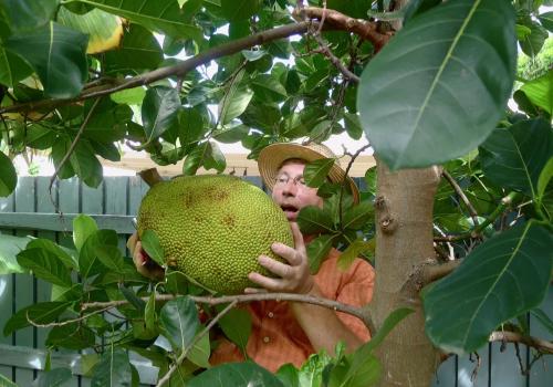 Vietnam super early jackfruit tree harvesting