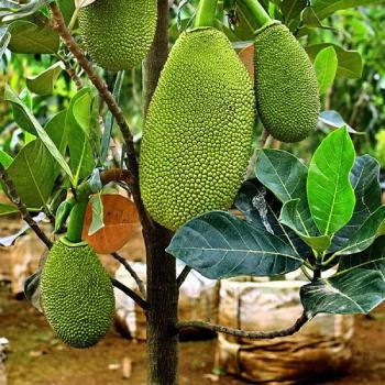 Vietnam super early gold jackfruit