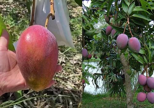 miyazaki mango harvesting