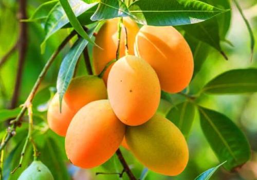 nawab kohitur mango